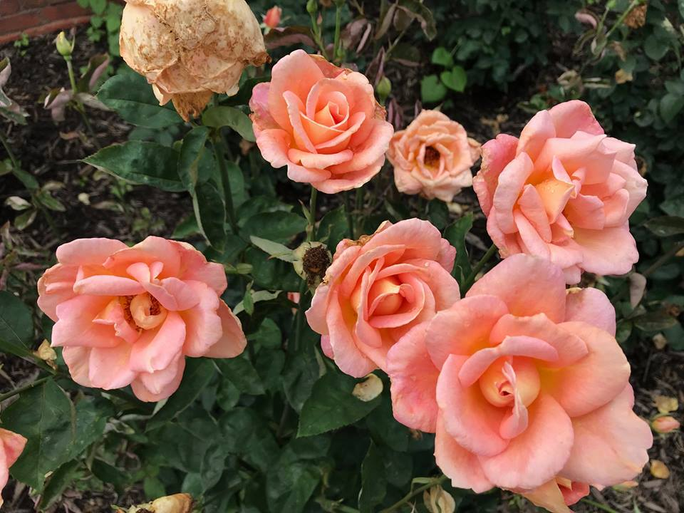 Roses-AAIT.jpg