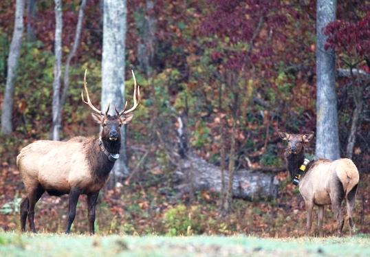 Take a guided tour of Peck Ranch Conservation Area, Missouri's flagship elk restoration project.