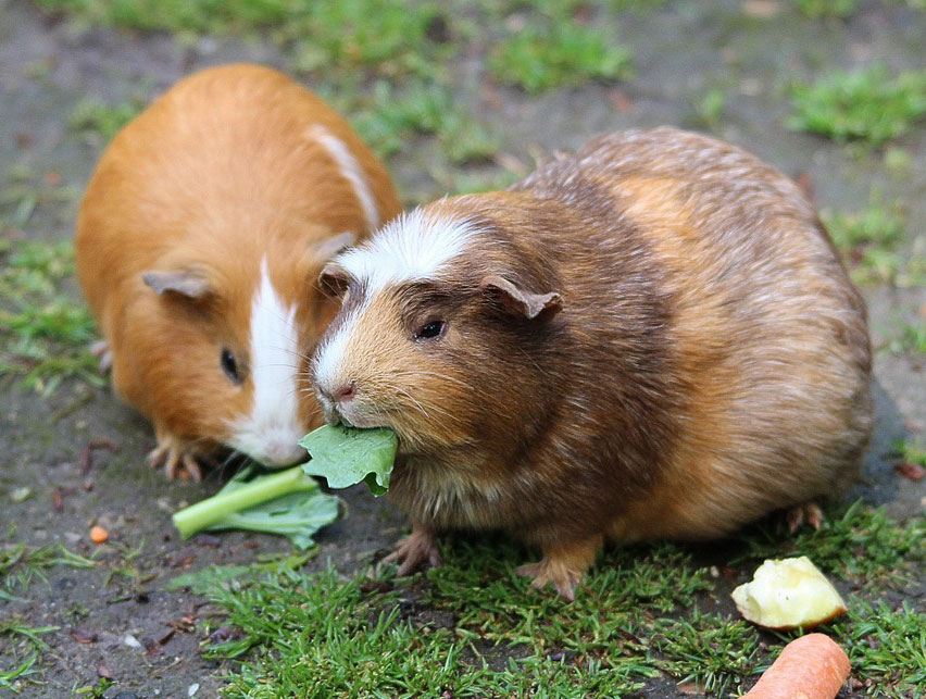 img-animal-guinea-pigs.jpg