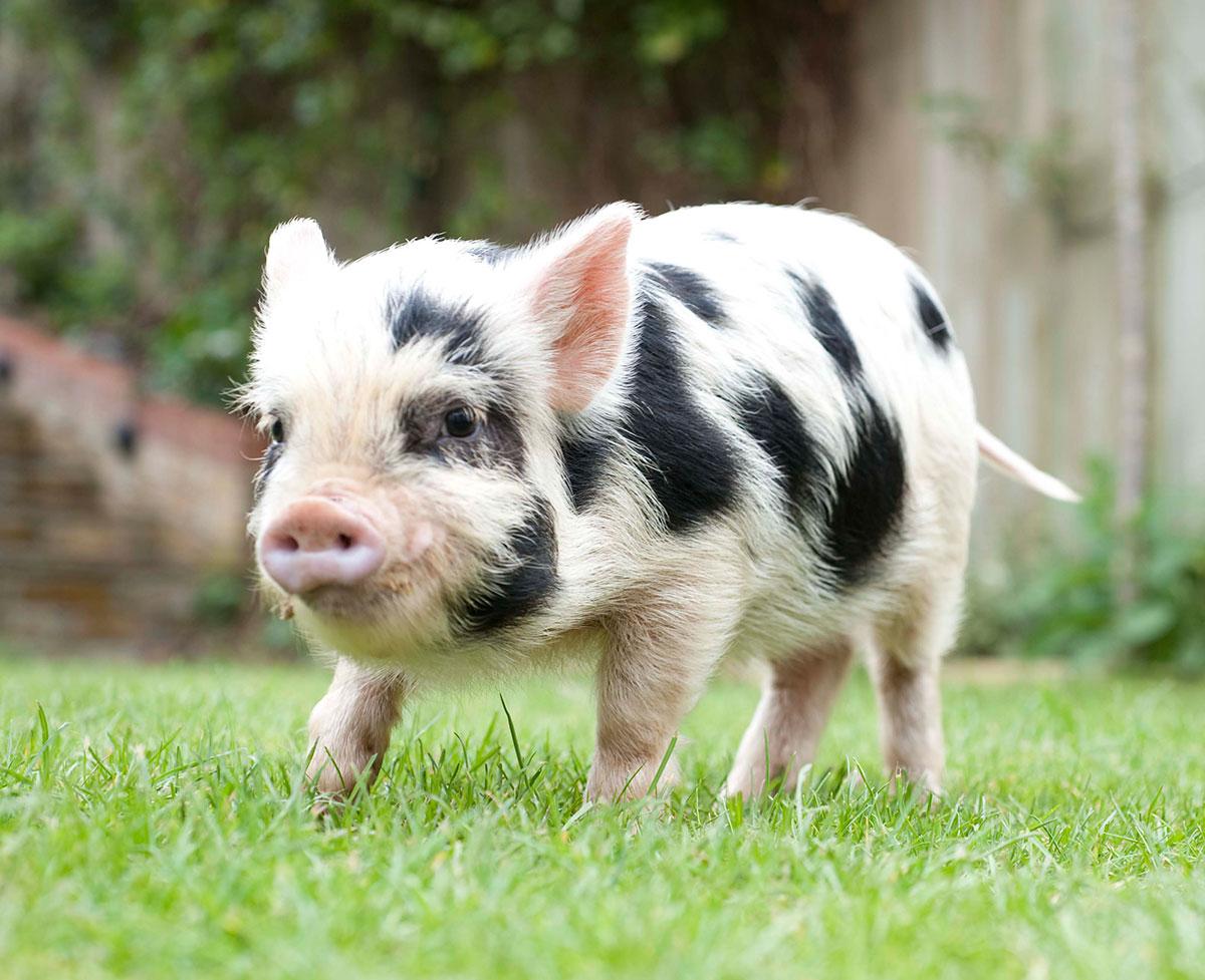 img-animal-micro-pig.jpg
