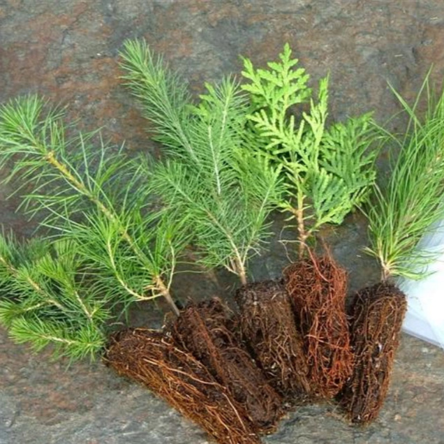 Every runner will receive a white spruce seedling in their race package. White spruce grow well across Canada, and the Canmore Rocky Mountain Half Marathon is proud to support the planting of trees, and to further our green mission as an environmentally-conscious, eco-friendly event. Think green and plant trees!