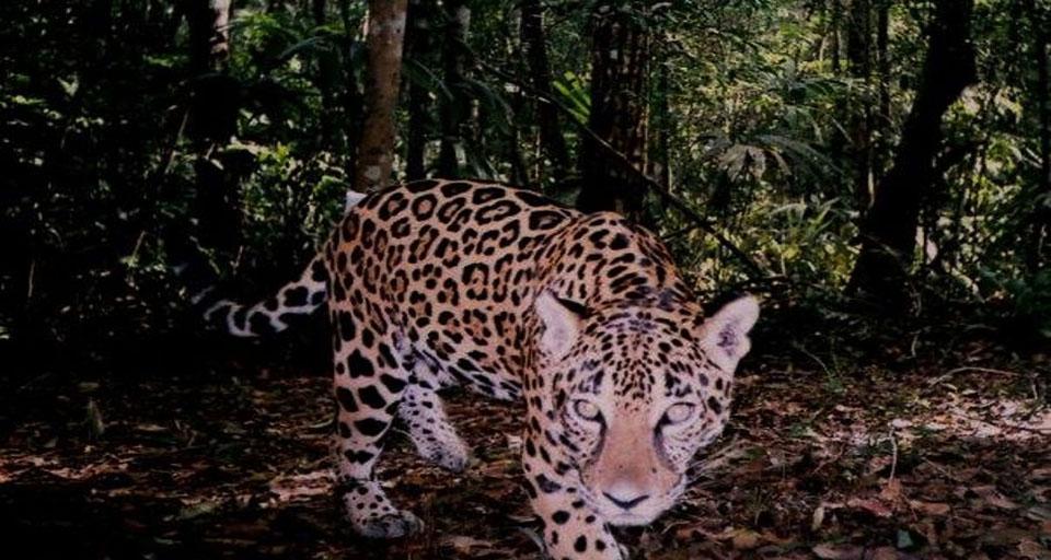 Jaguar -Panthera onca.jpg