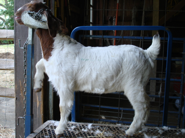 Getting ready to be clipped up for show.