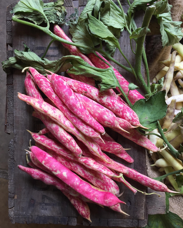 Italian Borlotti Beans    Photo © Puntarelle&Co Ltd