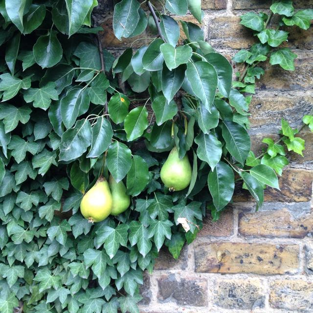 Jargonelle Pears growing in an English garden    Photo ©Evie Saffron Strands