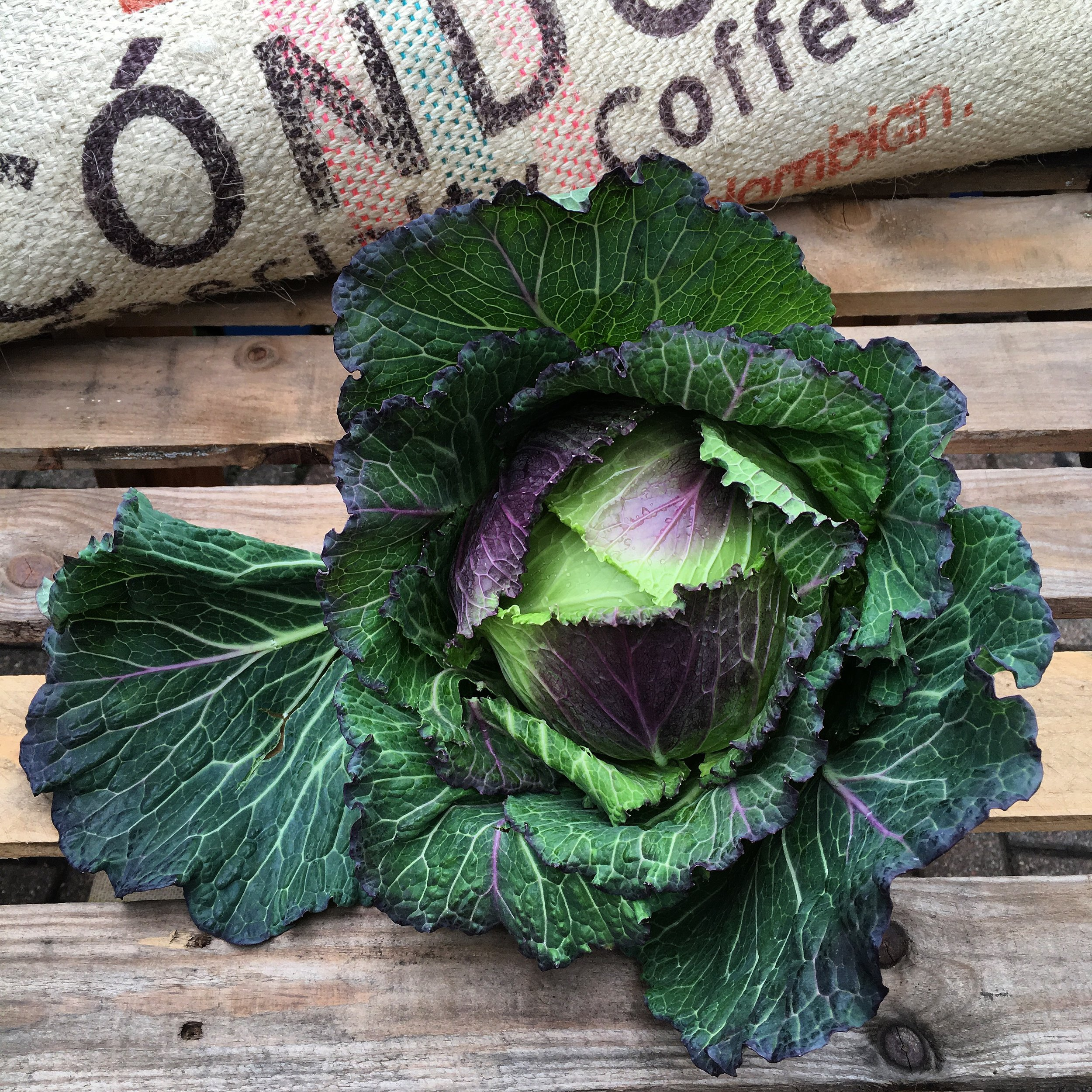 January King Cabbage    Photo ©Evie Saffron Strands