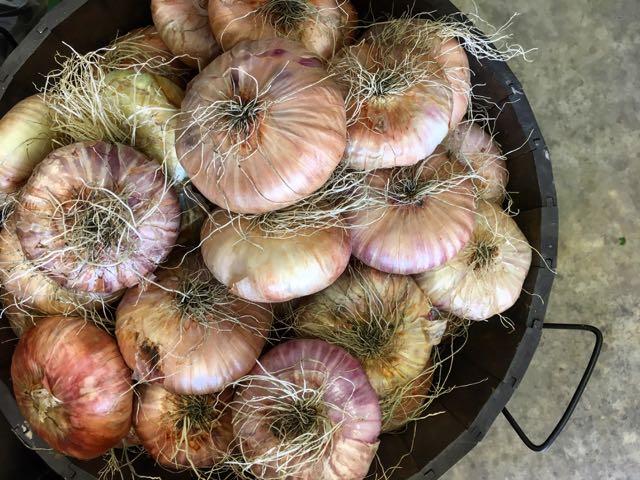 Sicilian Flat Onions    Photo ©Evie Saffron Strands