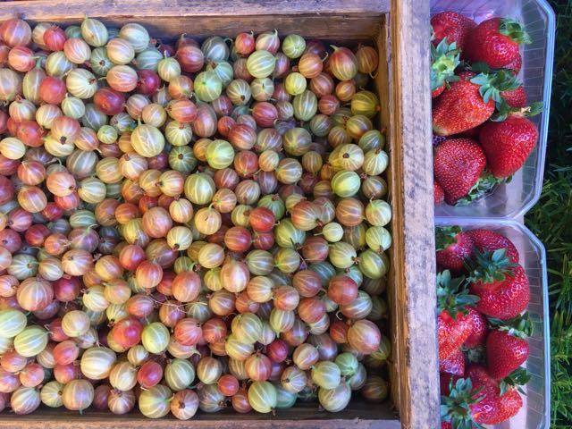 English Gooseberries and Strawberries    Photo ©Evie Saffron Strands
