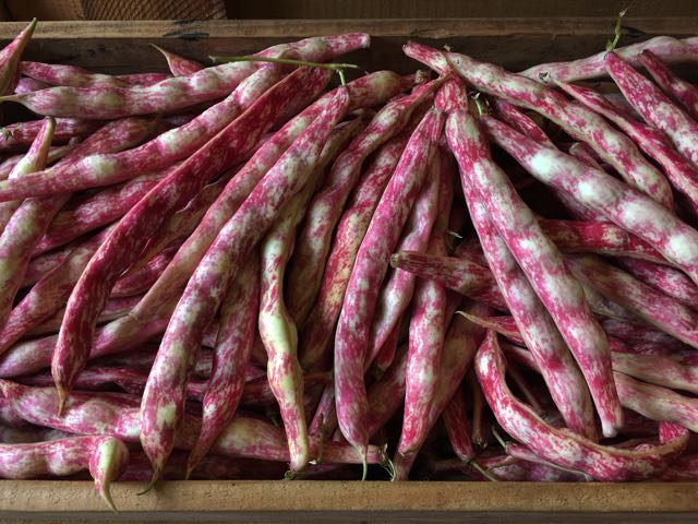 Italian Borlotti Beans for podding    Photo ©Evie Saffron Strands