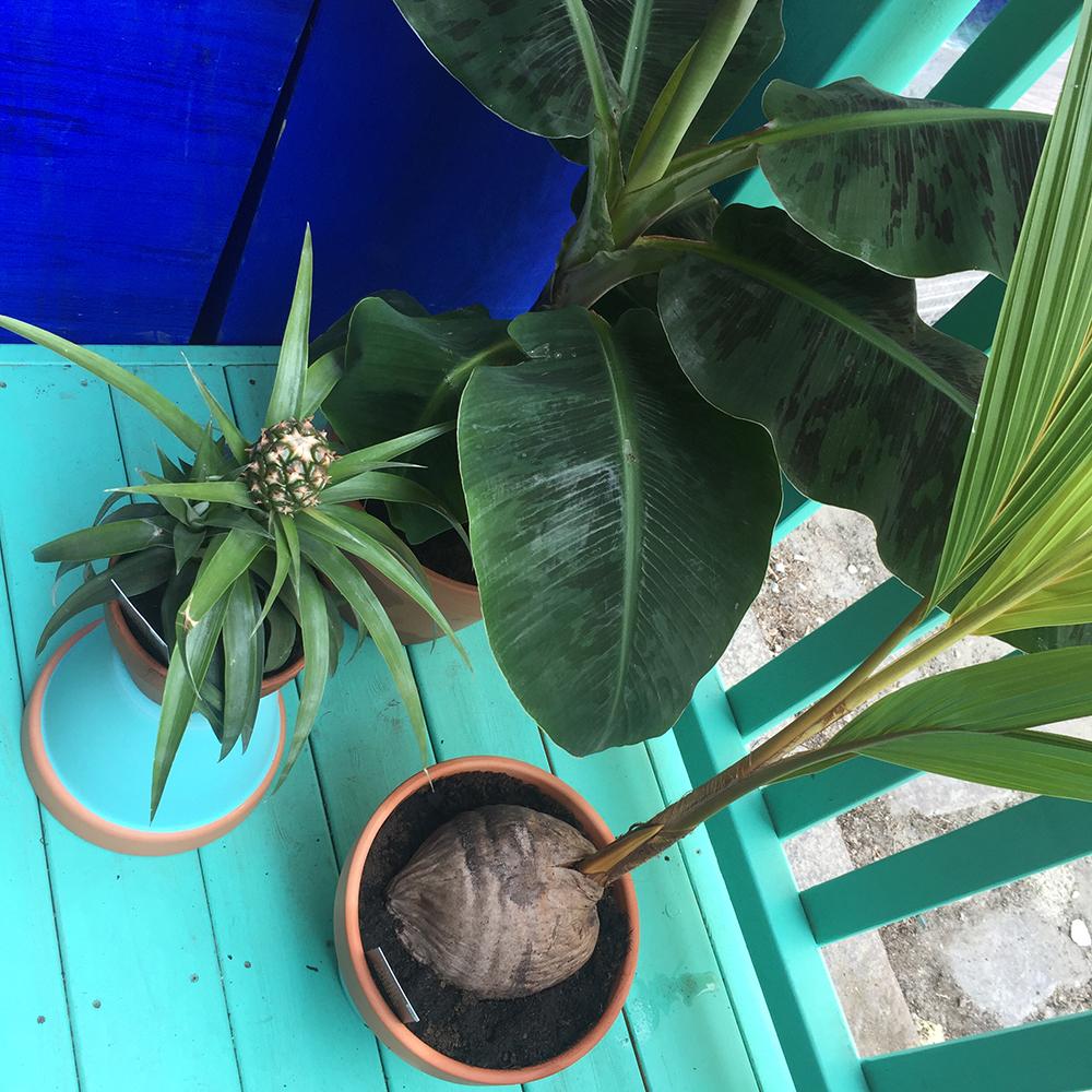 Kokos, banan og ananas
