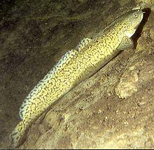 Burbot -fresh water cod
