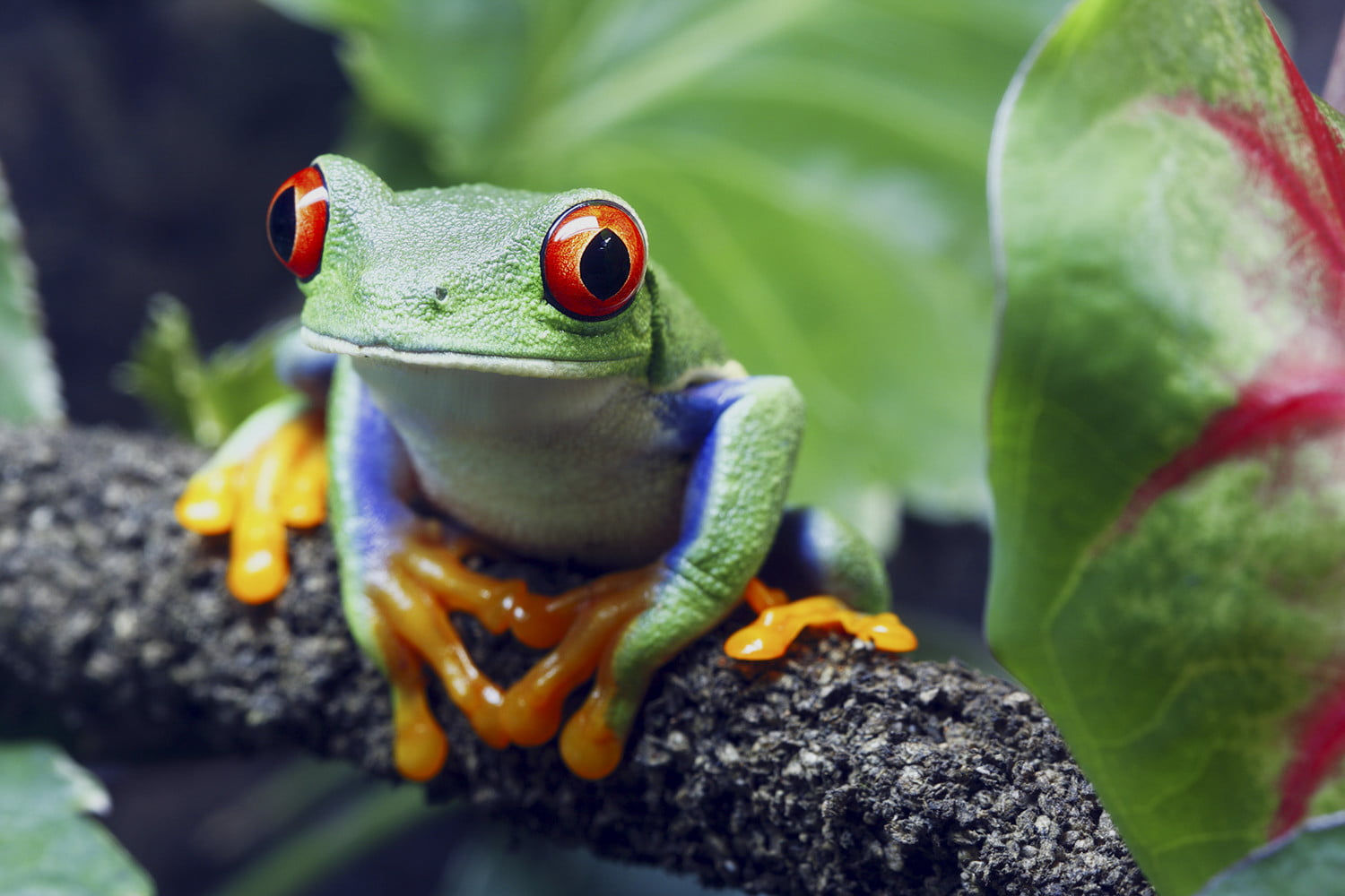 Red-eyed Tree Frog - From Digital Trends website: www.digitaltrends.com