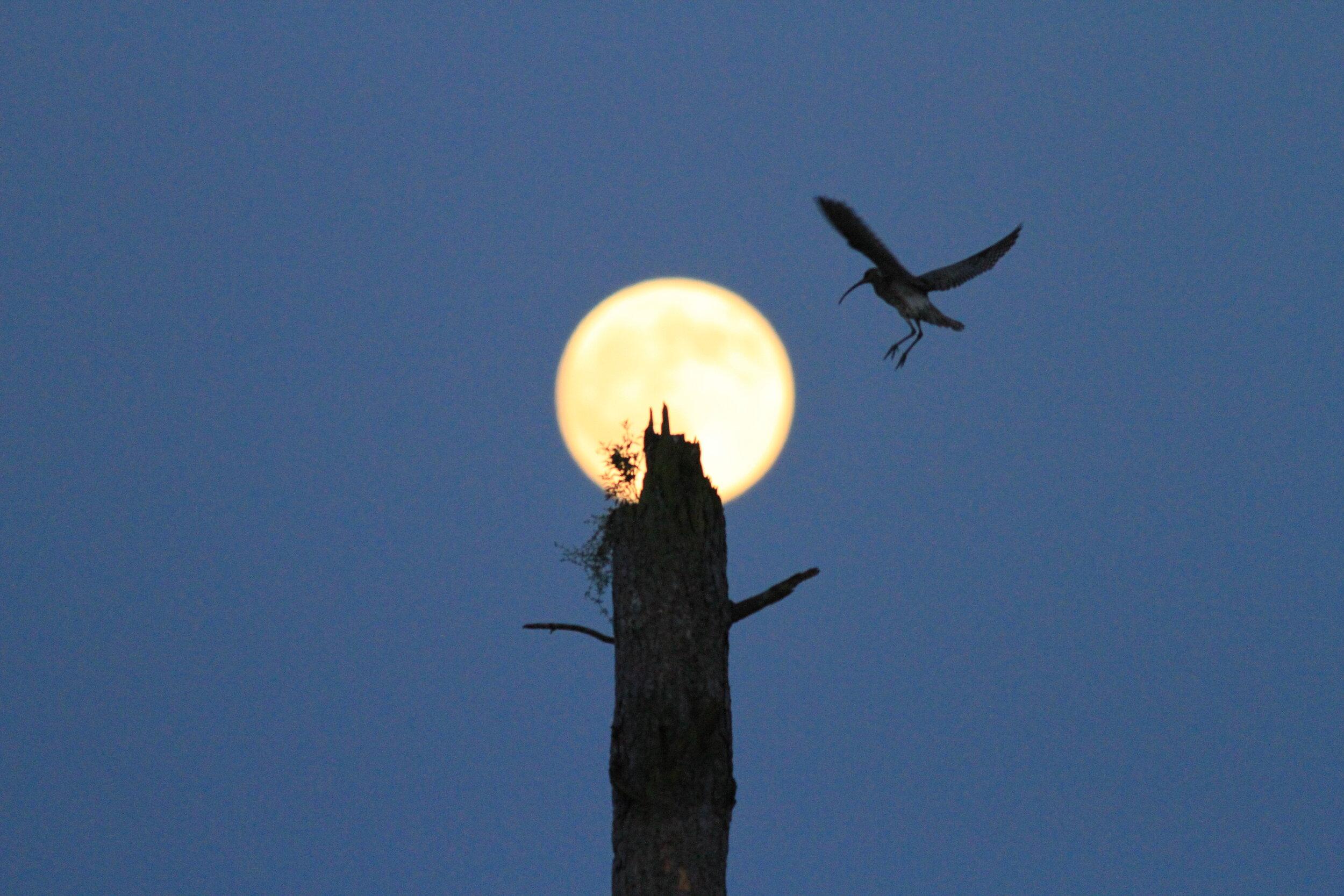 moon curlew.jpg