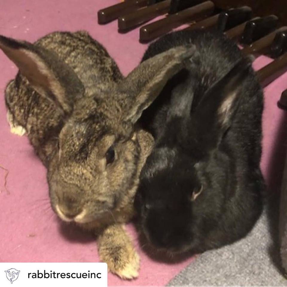 Rabbit Rescue Inc. - We donated $300 to Rabbit Rescue Inc. which helped with these buns' medical care. You can donate directly to Rabbit Rescue Inc.
