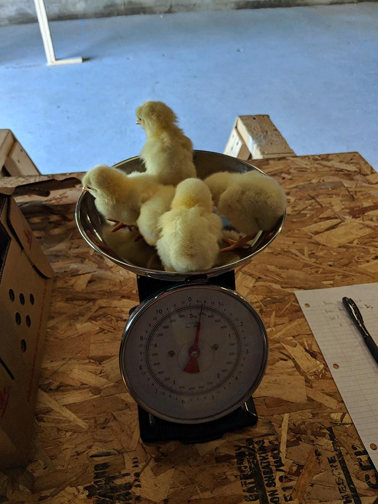 weighing-Chicks.png