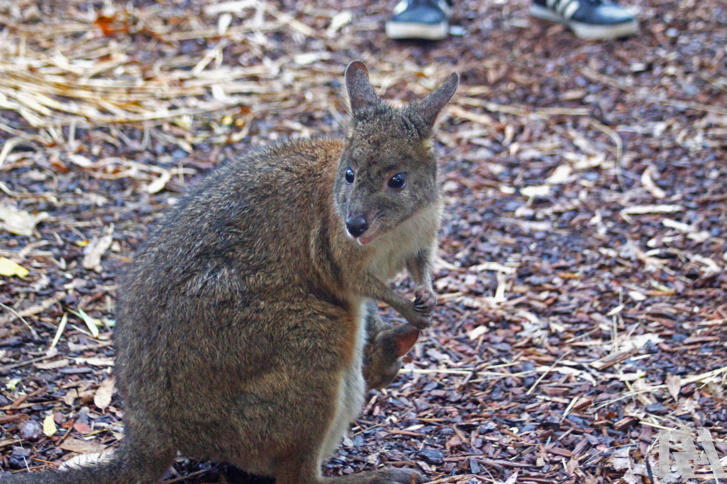 WallabyWatermark.jpg