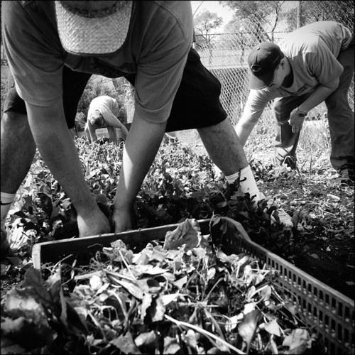 After harvesting lettuce, interns at Growing Home Inc prepare the field for new seedlings. Growing home is a non-profit organization that provides job training through organic agriculture. It is a stepping stone program that serves people with a variety of backgrounds, including those who were formerly incarcerated, or recovering from substance abuse. Chicago, 2011.