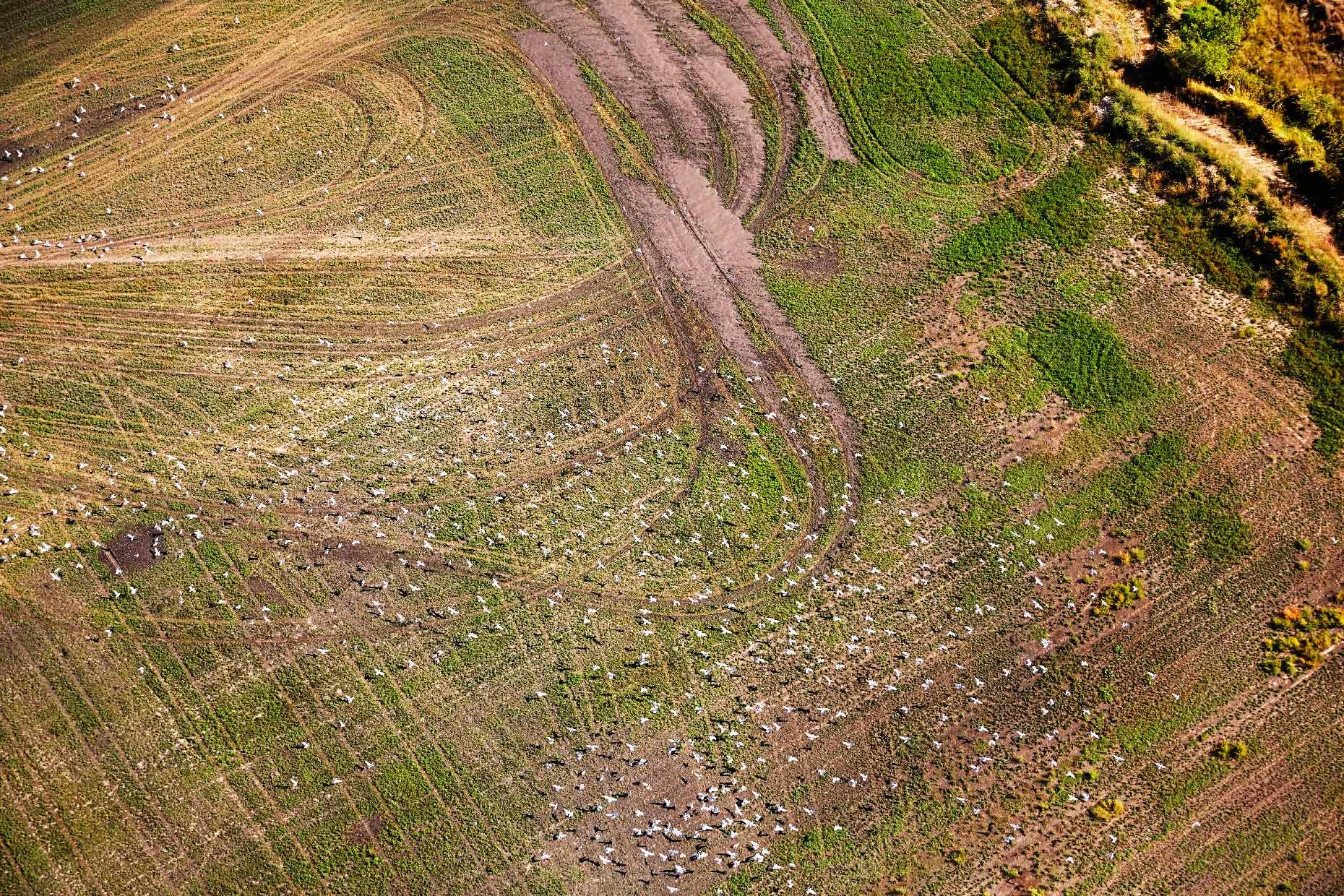 Derek Israelsen Birds Flying Over Farm