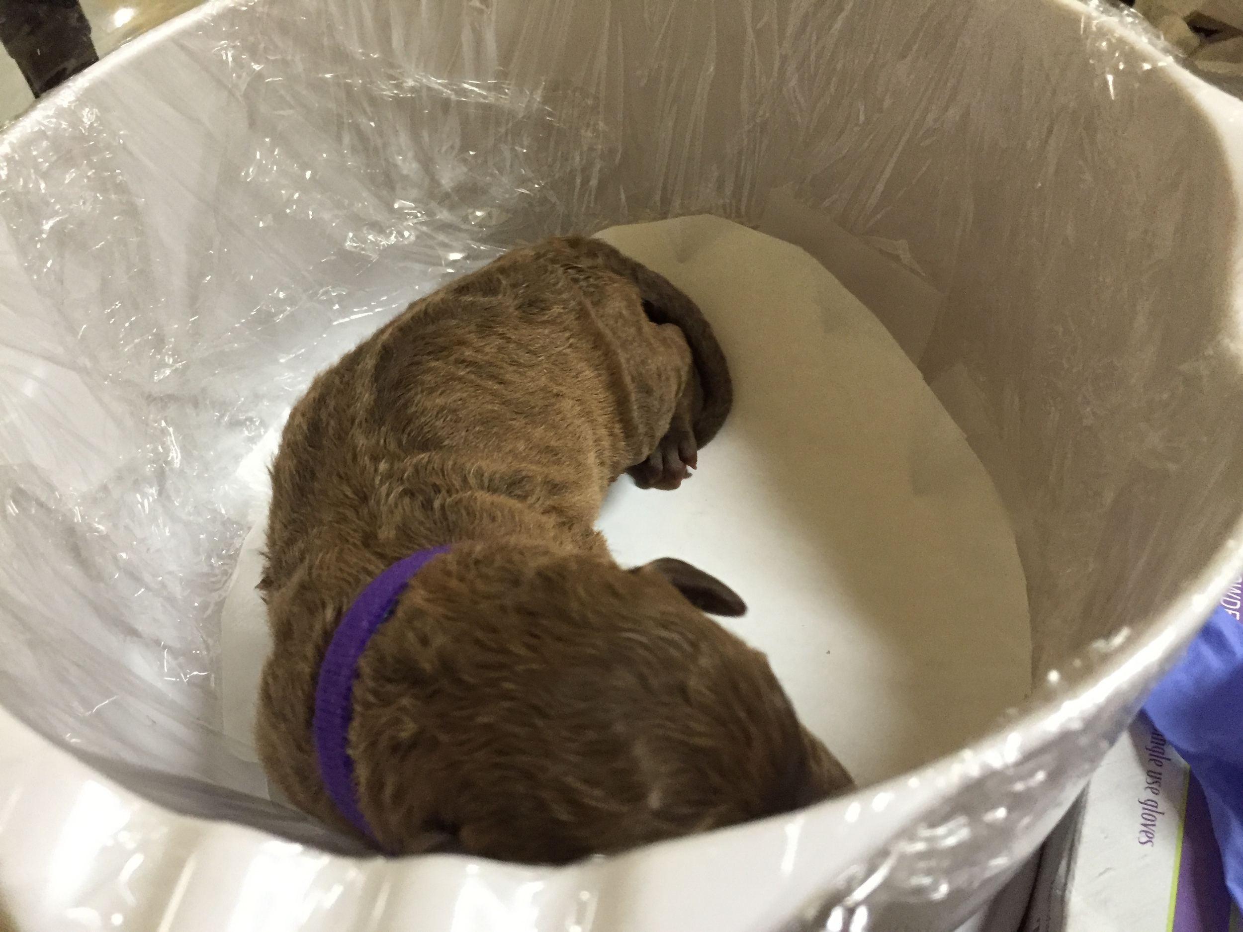 Purple puppy scale newborn