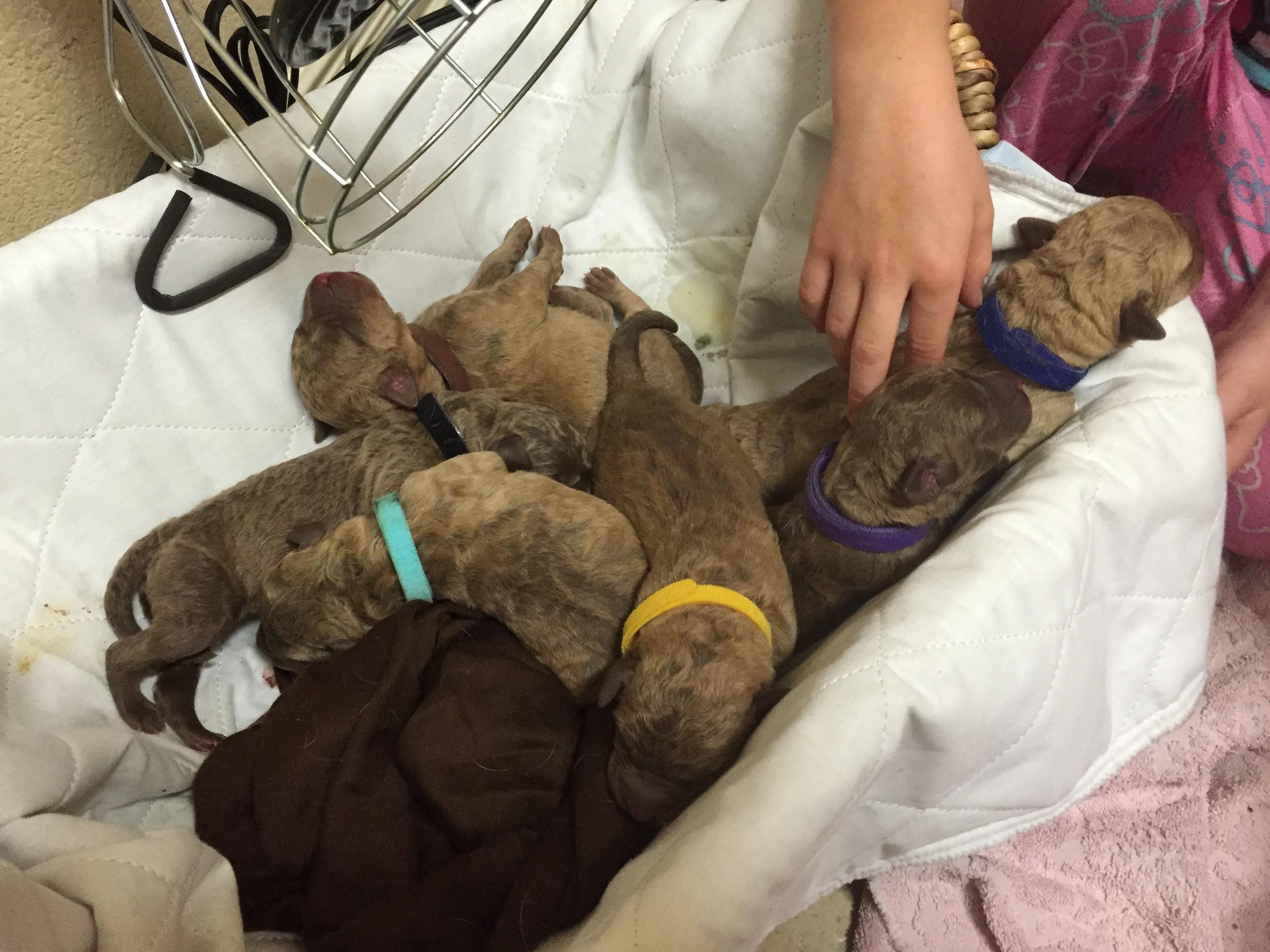 Six newborn Chesapeake Bay Retriever puppies