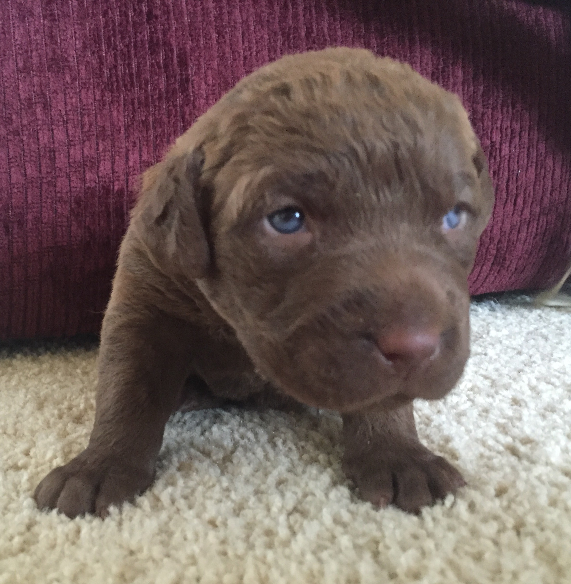 Purple Female Chesapeake Bay Retriever Puppy for Sale
