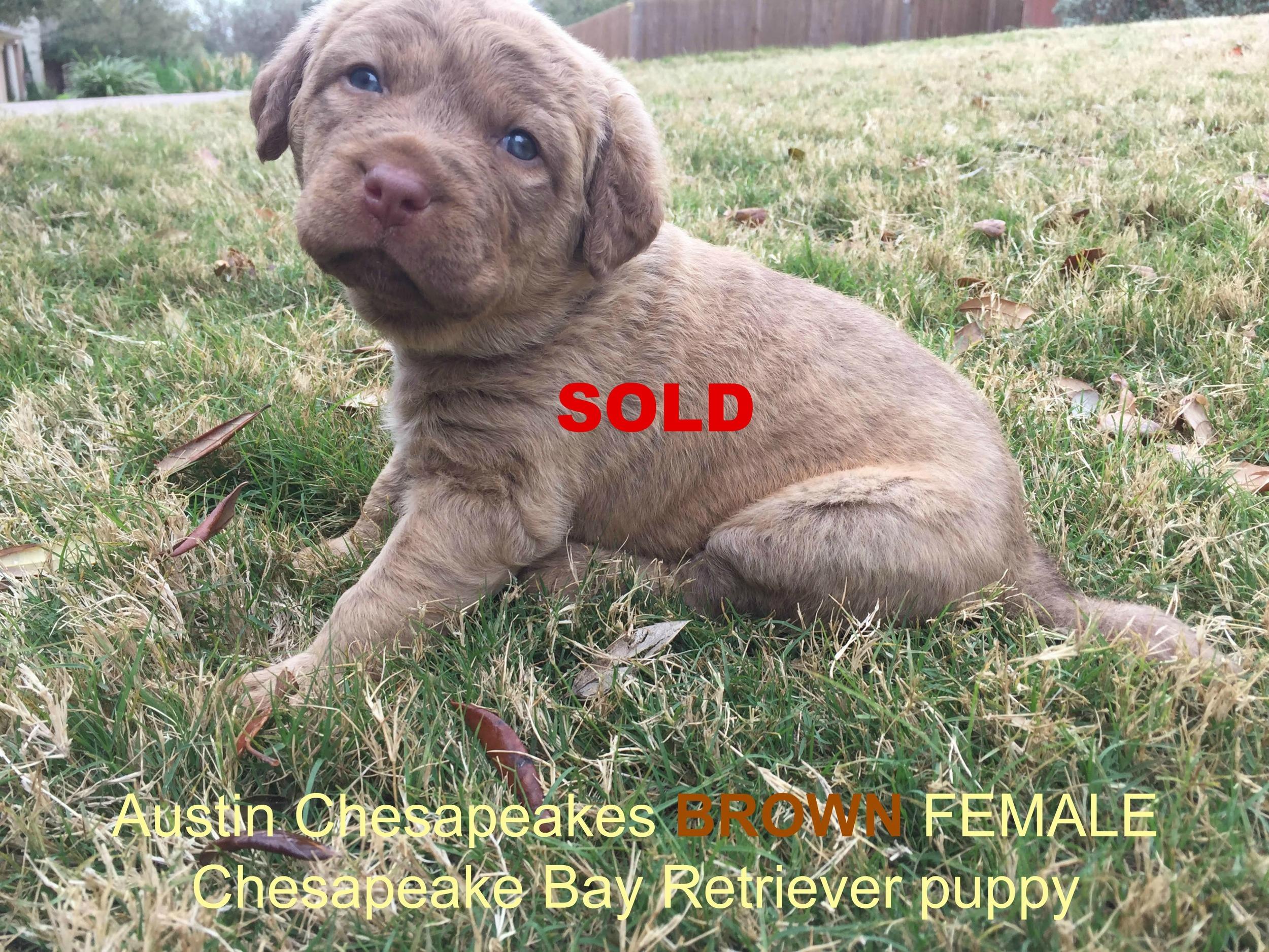 3 Weeks Brown_Austin Chesapeakes_SOLD.jpg
