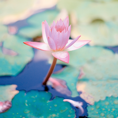 saffu-208364-unsplash LOTUS 500.png