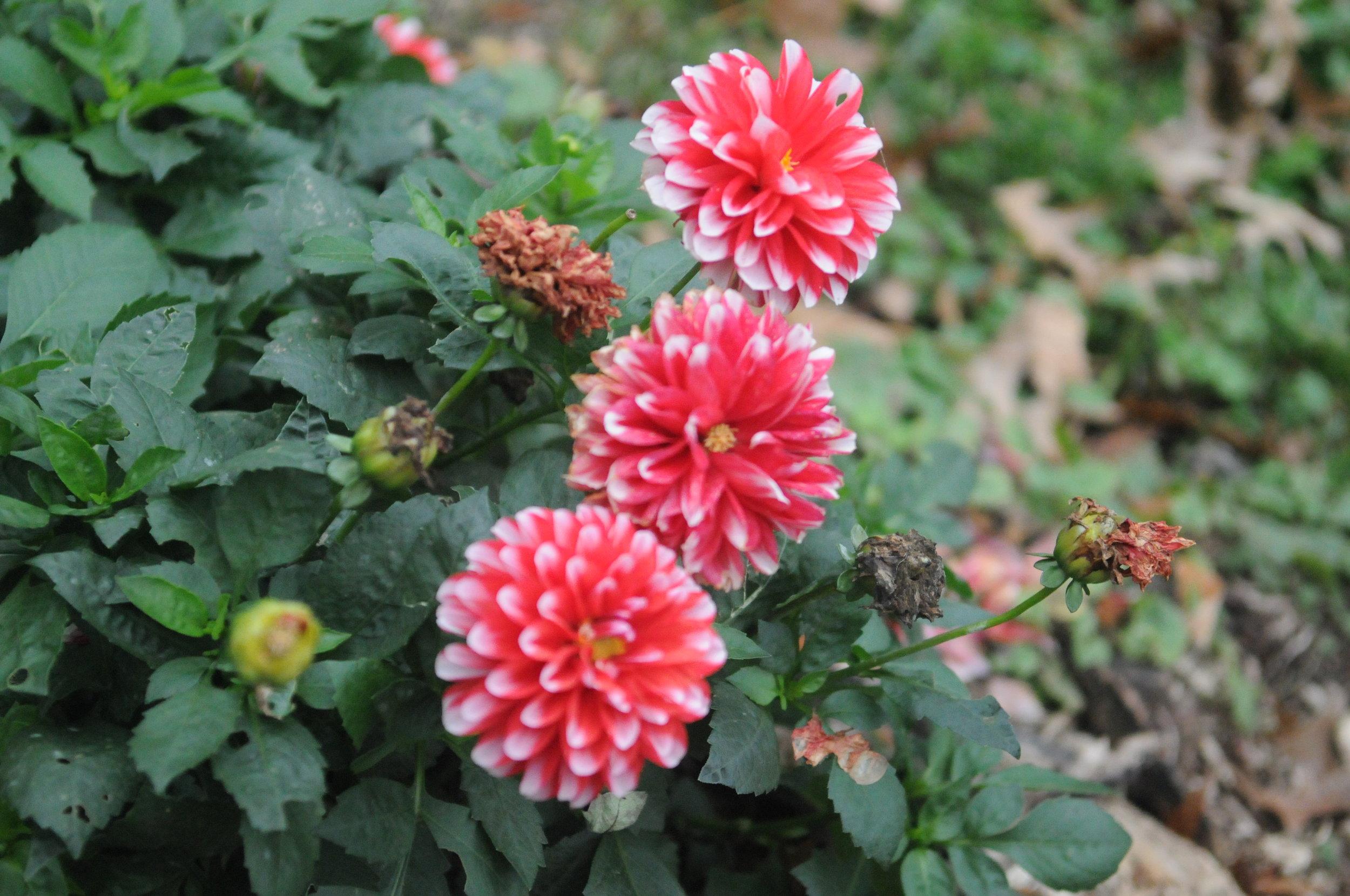 Beautiful Flowers copy.JPG
