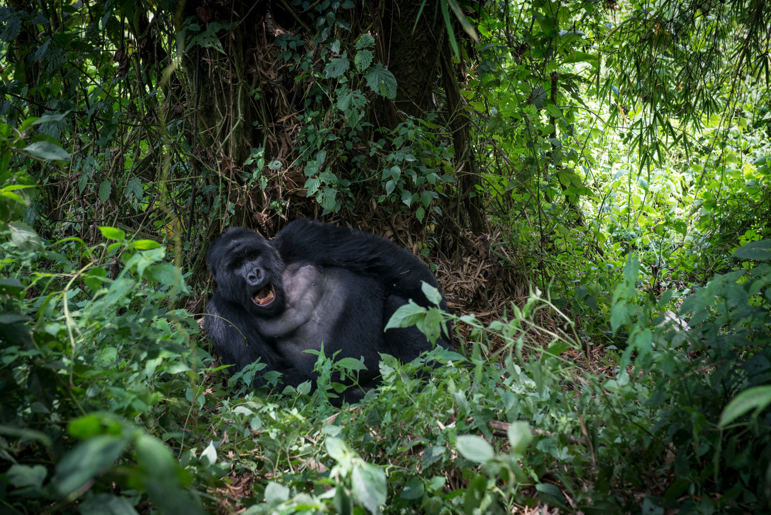 A silverback gorilla lounges below a tree in Virunga's National Park.