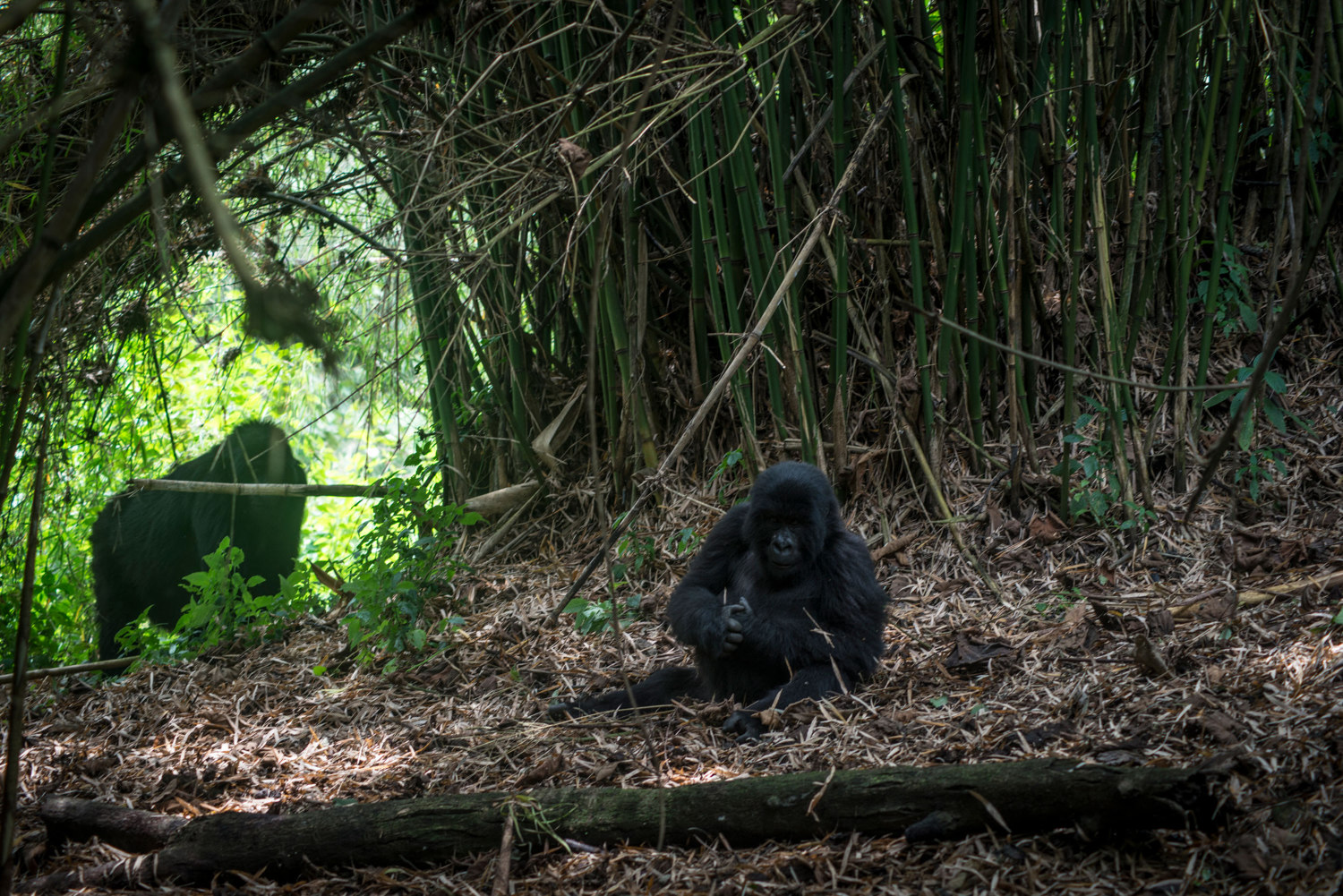A mother gorilla watches after her child in the Mikeno sector of Virunga National Park.