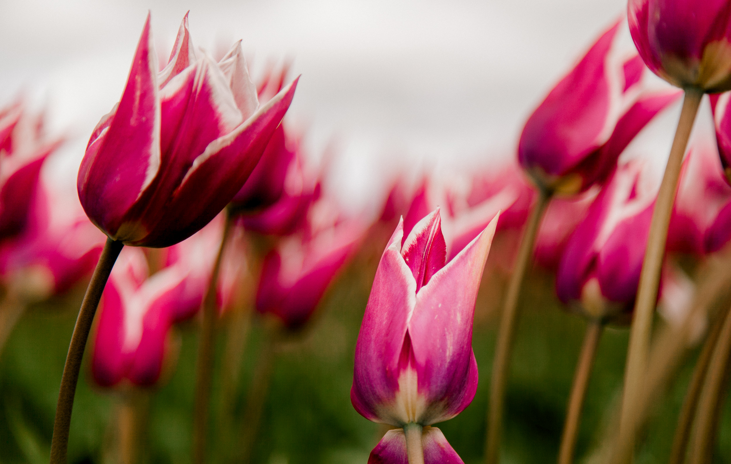 tulips-skagit-wa-abbey-taylor-6.jpg