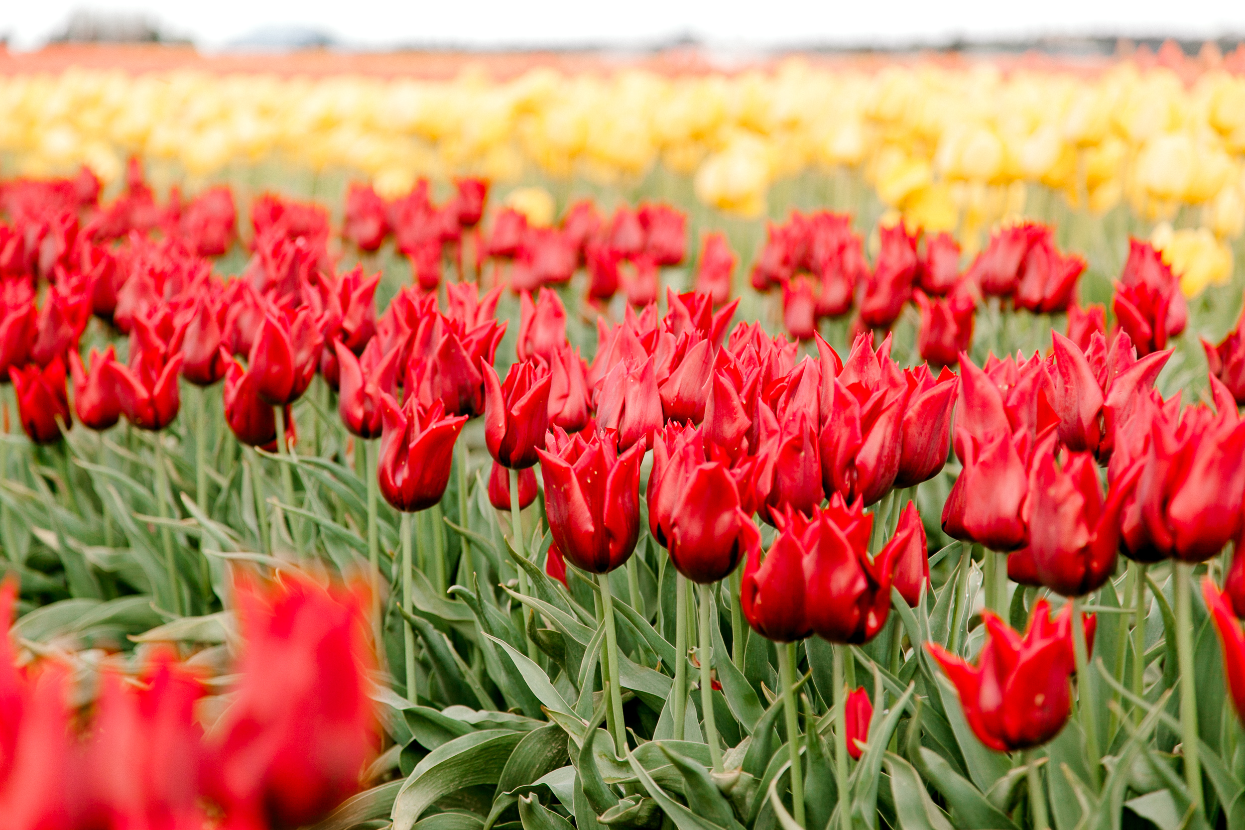 tulips-skagit-wa-abbey-taylor-7.jpg