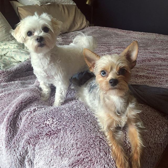 Don't let em fool ya all my clean clothes are now on the ground thanks to these to state wrestlers . . #dogmomproblems #dogmom #dog #dogsofinstagram #dogoftheday #maltese #yorkiesofinstagram #yorkie #malteseofinstagram #millie #millieandviv #vivian #mymonsters
