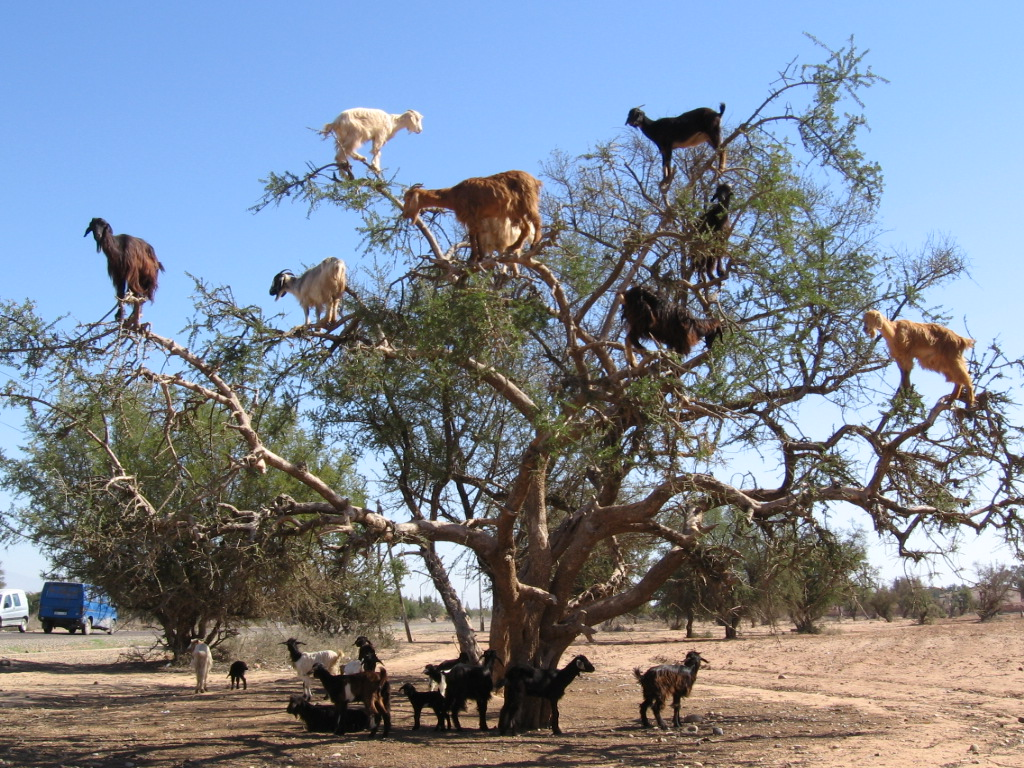 Agadir - Goats.JPG