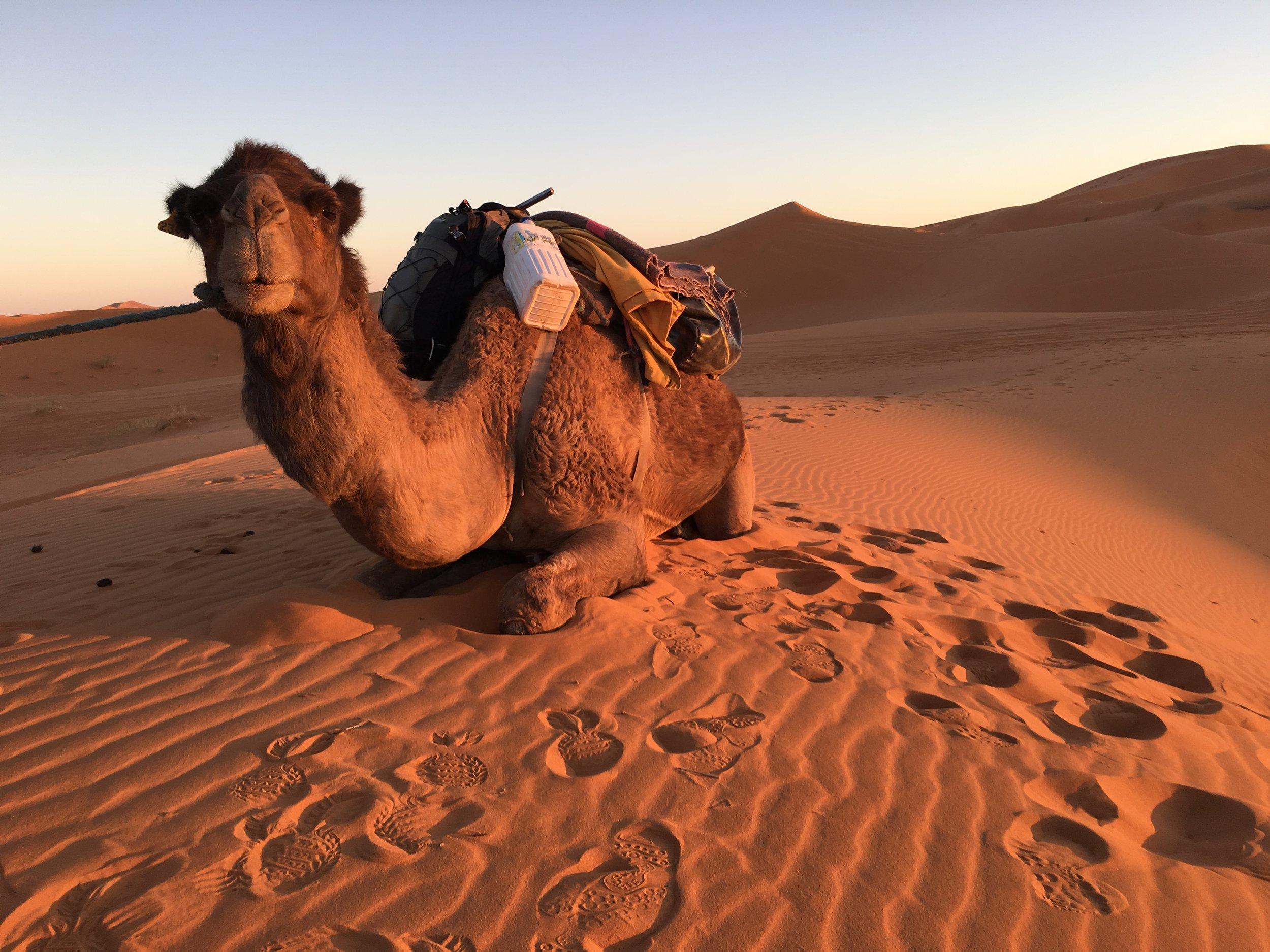 Sahara - Poster Camel.JPG