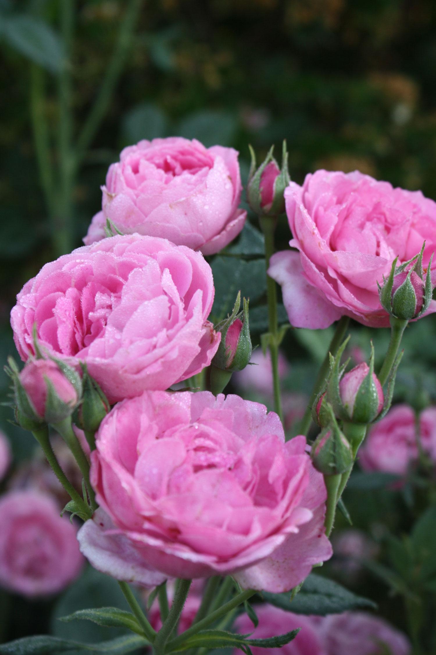 Rosa 'La Reine de Victoria'