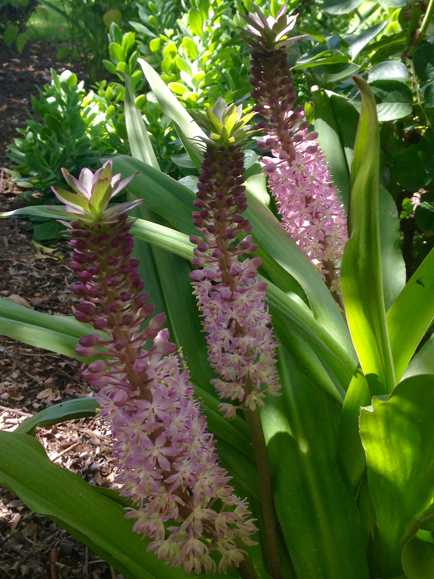 Pineapple lily ( Eucomis comosa  'Sparking Burgundy')