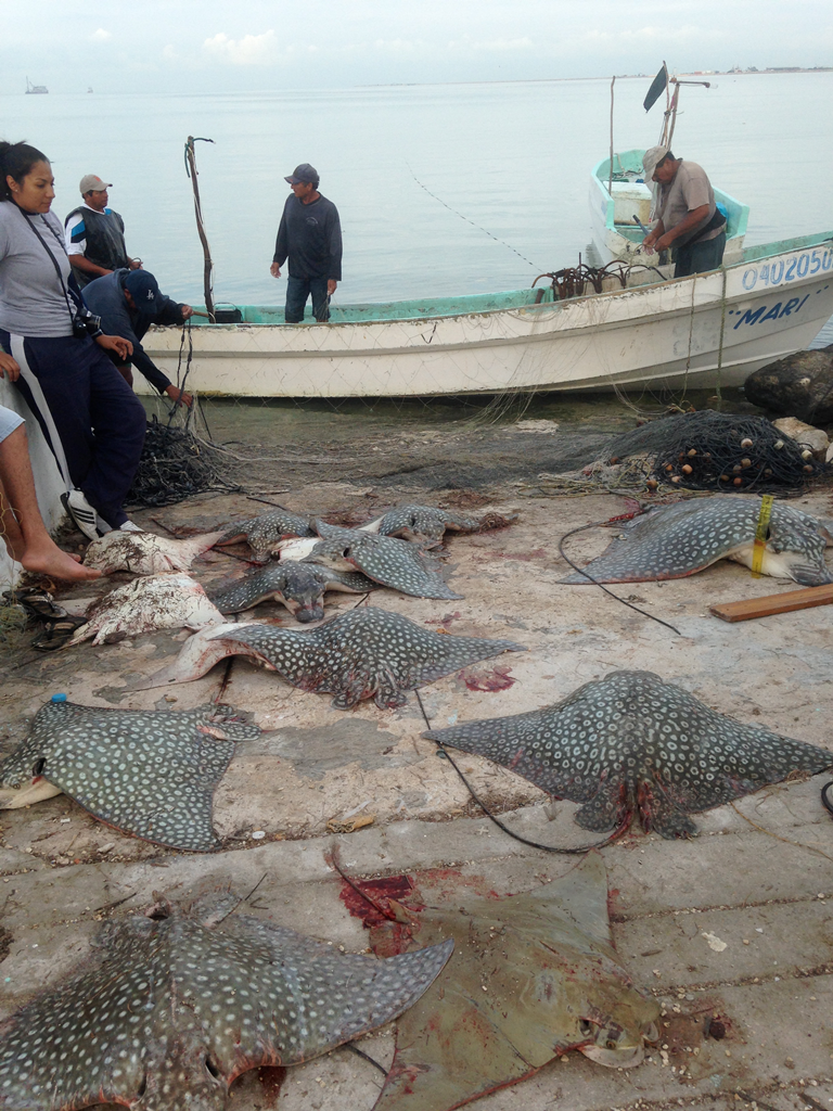 Documenting catch of a seasonal artisanal fishery for Spotted Eagle Rays and Cownose Rays in Campeche, MX.