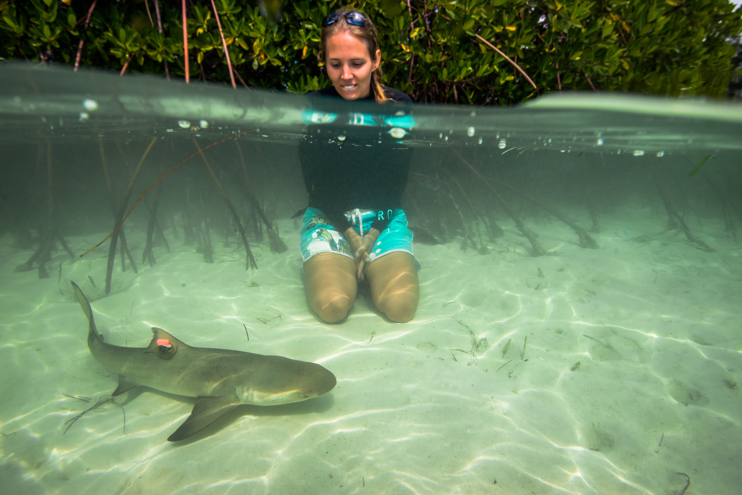 Dr. Lauran Brewster is a Postdoctoral Fellow at Florida Atlantic University's Harbor Branch Oceanographic Institute. Lauran obtained her PhD through the University of Hull (U.K.) and the Bimini Biological Field Station, where her dissertation focused on using accelerometers to derive field metabolic rates and activity budgets of juvenile lemon sharks. Prior to joining us here at The Fisheries Ecology and Conservation Lab, Lauran was an Endeavour Research Fellow at Murdoch University, Western Australia. Her primary academic interests involve the application of bio-logging tools and machine learning techniques to better understand the behavioral and physiological ecology of predatory fish. Dr. Brewster is primarily working on the  Grouper Guard  project, where she is applying her skills garnered from her PhD work on lemon sharks towards Goliath Grouper.