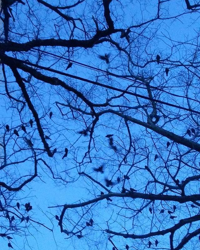 #crows on #trees on George St #sydney #capebreton #novascotia #winter #nofilter
