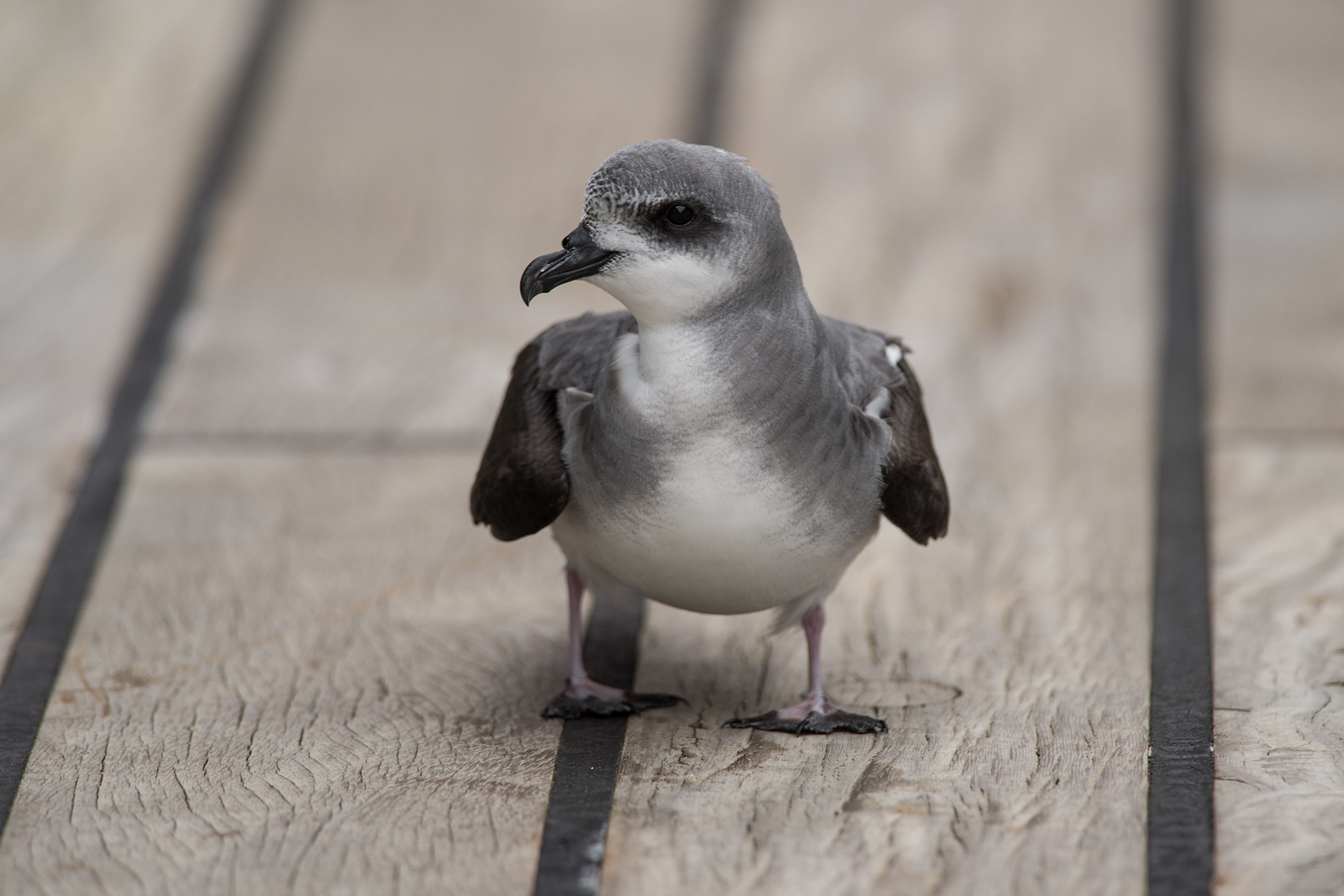 The first stowaway: A black-winged petrel on the deck of RV Sonne.
