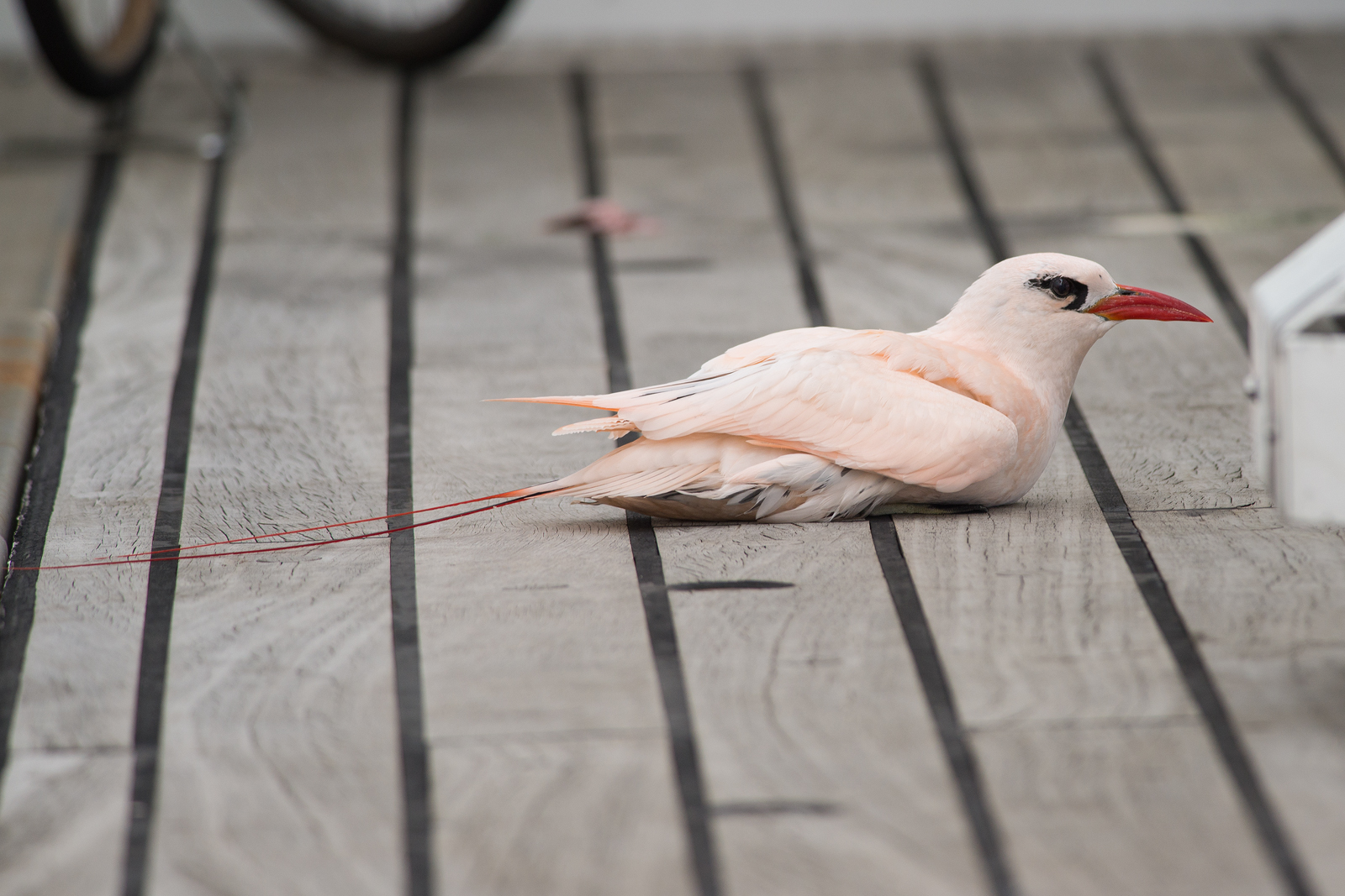 A red-tailed tropicbird that had chosen the ship to have his meal of a squid.