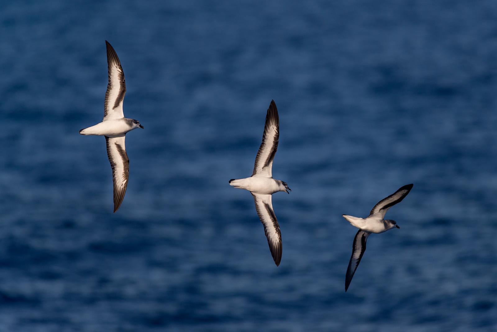Three black-winged petrels in flight formation.