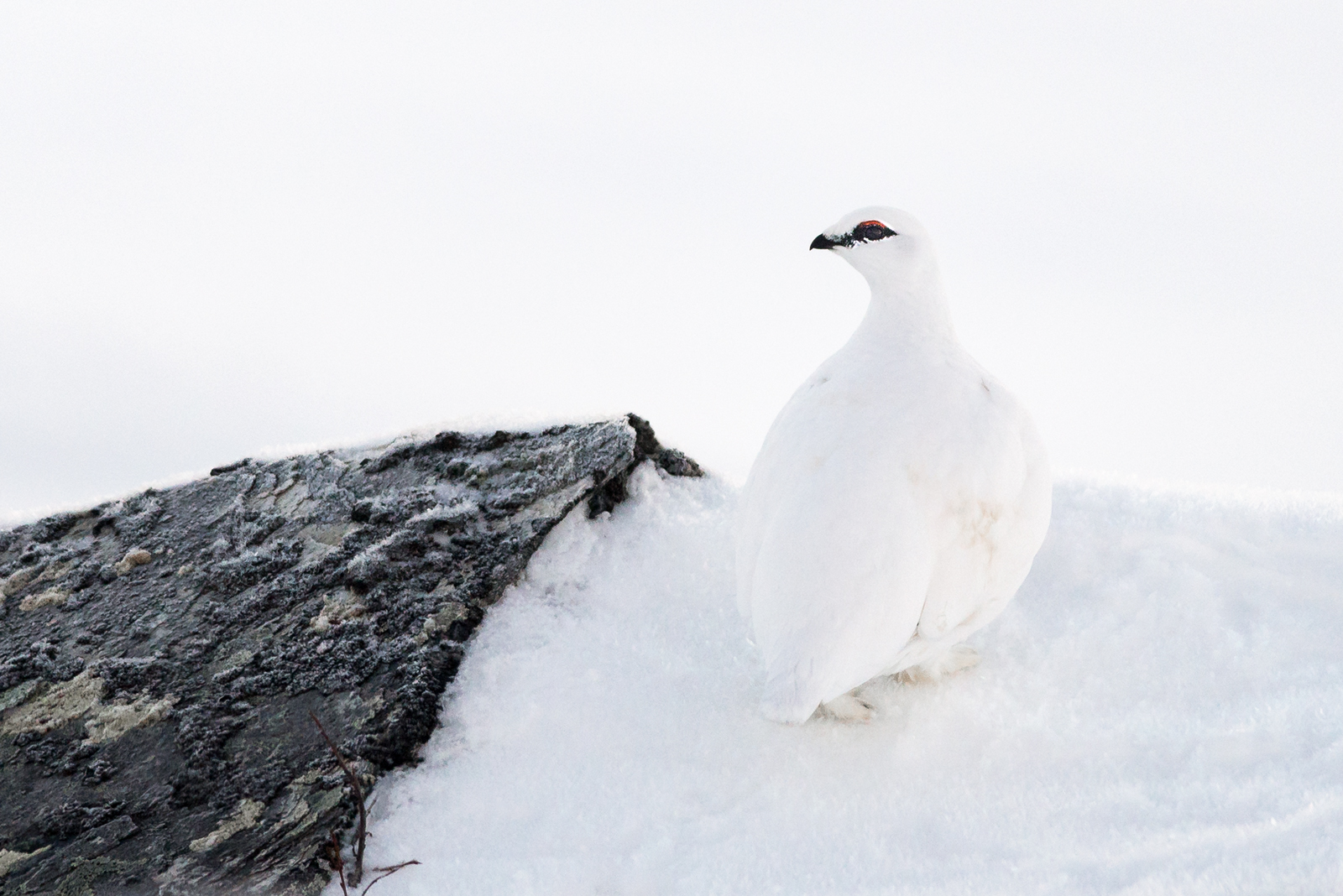 Perfectly camouflaged Rock Ptarmigan.