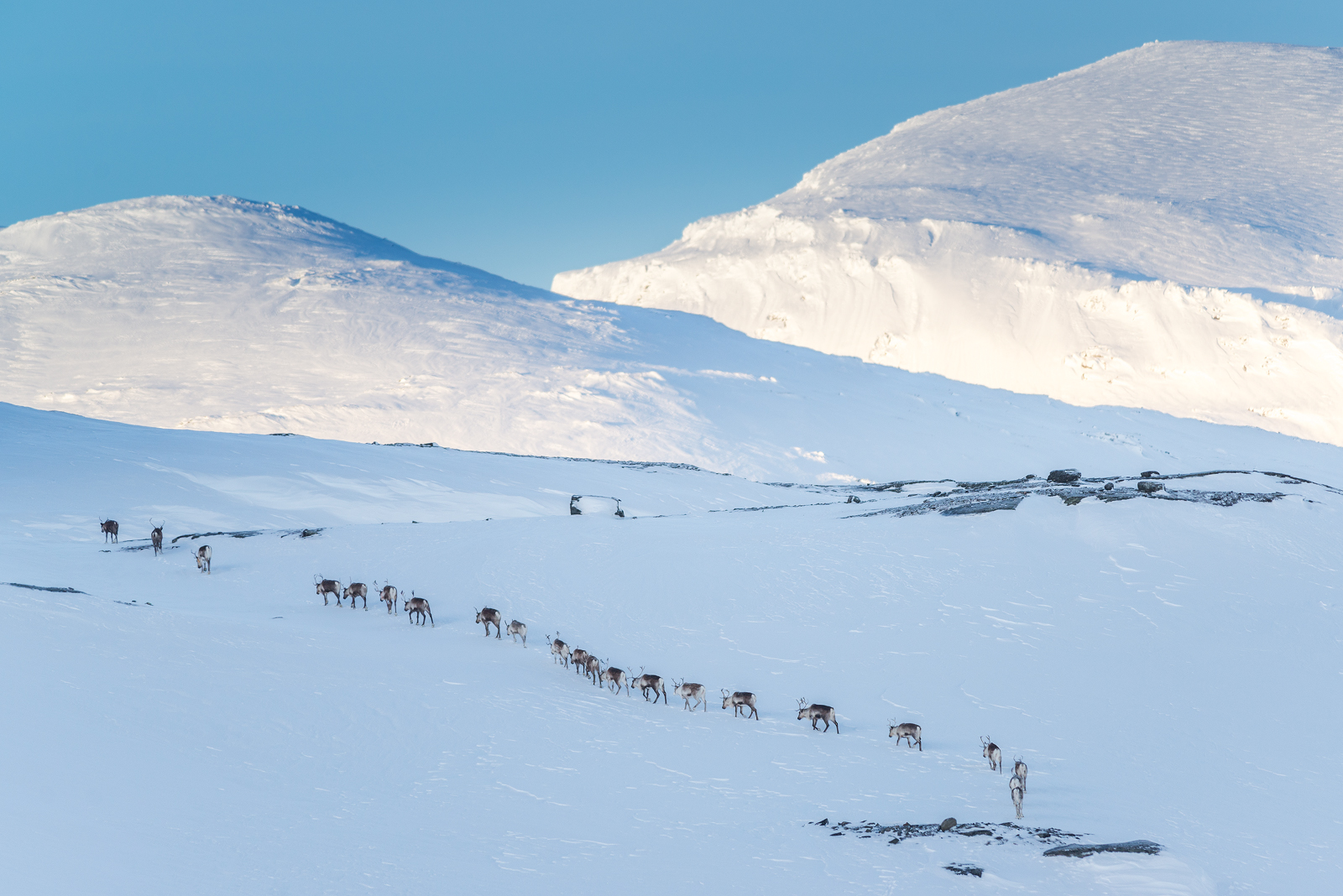 A herd of reindeers marching up the mountain.