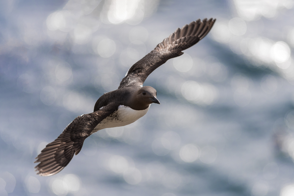 A Common Murre/Guillemot in flight.