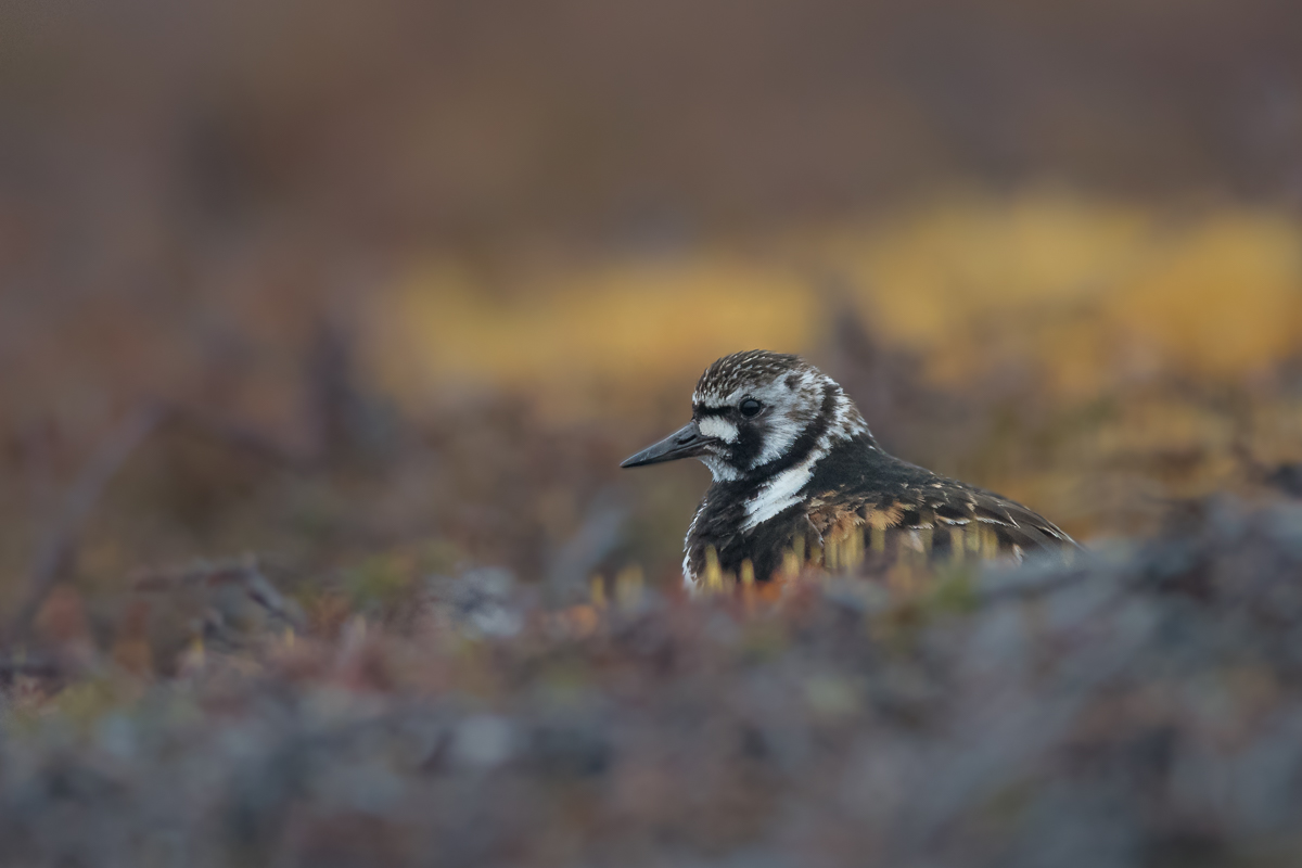 A ruddy turnstone in its breeding area at Komagdalen.