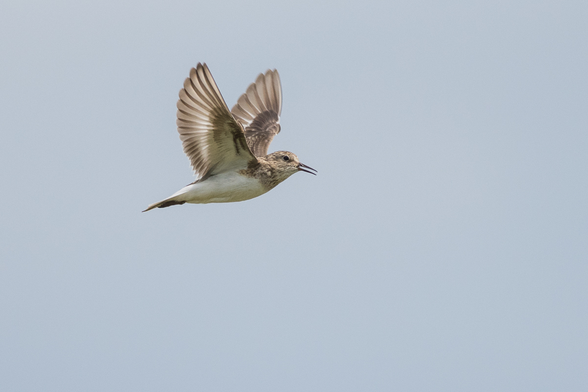 A Temminck Stint performing its buzzing song in the air.