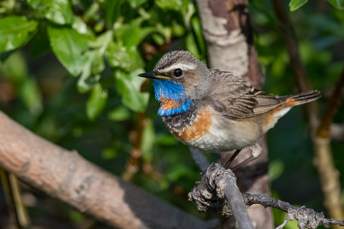 A Red-throated Bluethroat in Sandfjord.