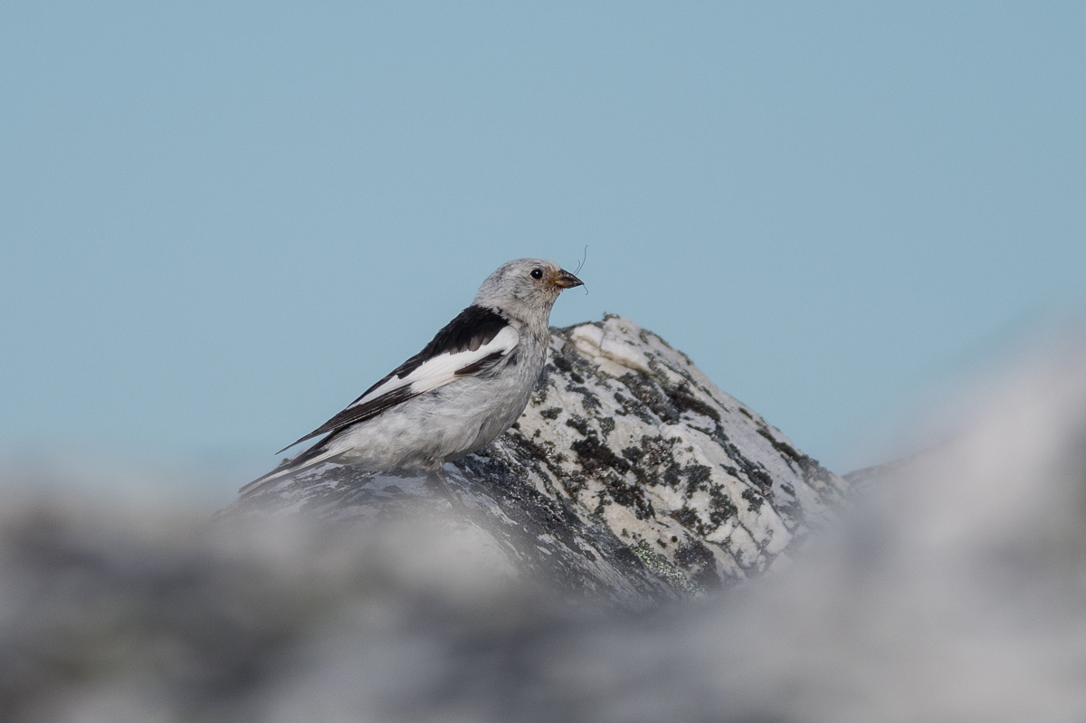 A Snow Bunting on Hanglefjell.